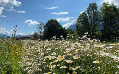 ATMB et ALVEOLE s'engagent pour réintroduire les fleurs alpines en Haute-Savoie